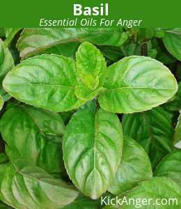 Basil - Essential Oils For Anger