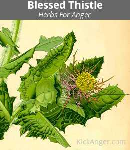 Blessed Thistle - Herbs For Anger