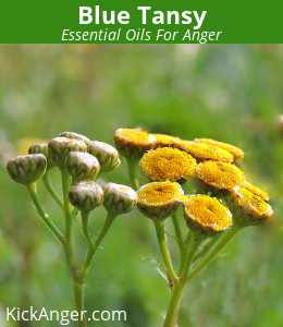 Blue Tansy - Essential Oils For Anger