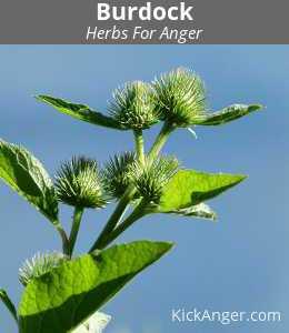 Burdock - Herbs For Anger