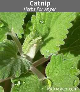 Catnip - Herbs For Anger