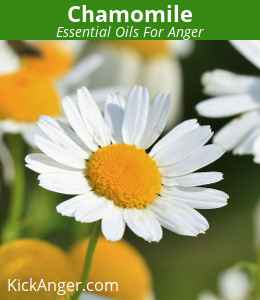 Chamomile - Essential Oils For Anger