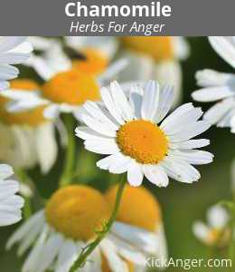 Chamomile - Herbs For Anger