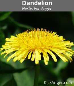 Dandelion - Herbs For Anger