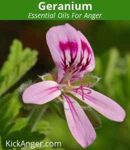 Geranium - Essential Oils For Anger