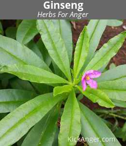 Ginseng - Herbs For Anger