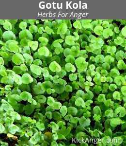 Gotu Kola - Herbs For Anger