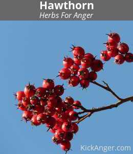Hawthorn - Herbs For Anger
