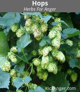 Hops - Herbs For Anger