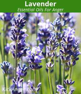 Lavender - Essential Oils For Anger