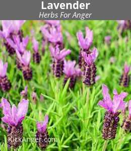 Lavender - Herbs For Anger