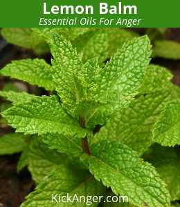 Lemon Balm - Essential Oils For Anger