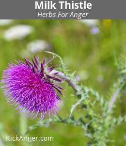 Milk Thistle - Herbs For Anger