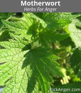 Motherwort - Herbs For Anger