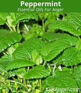 Peppermint - Essential Oils For Anger