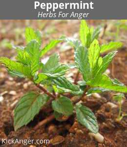 Peppermint - Herbs For Anger