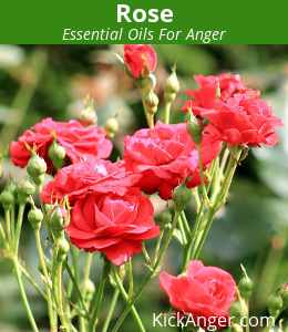 Rose - Essential Oils For Anger