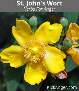 St. John's Wort - Herbs For Anger