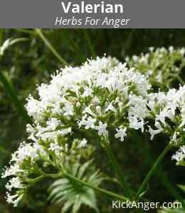 Valerian - Herbs For Anger