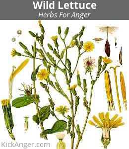Wild Lettuce - Herbs For Anger